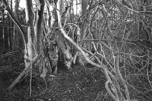 Beech stoll coppiced